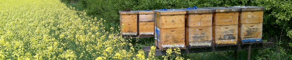 Bienenstöcke in einem Rapsfeld